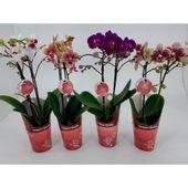Orquidea-Phale-Mini-PT09-3735639-1