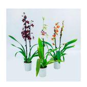 Orquidea-Oncidium-Variado-PT09-3866490-1
