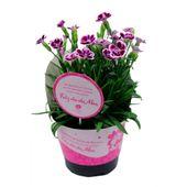 Dianthus-Pink-Kisses-PT11-3928186